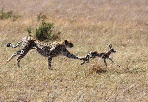 Zašto su četvoronožne životinje bolji sprinteri od ljudi?
